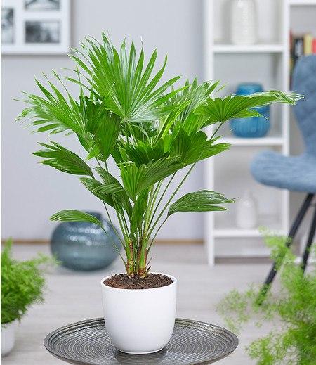 Palme 'Livistona Rotundifolia' ca 40 cm hoch,1 Pflanze