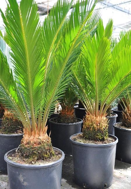 Palmfarn (Sago-Palme) - Cycas revoluta