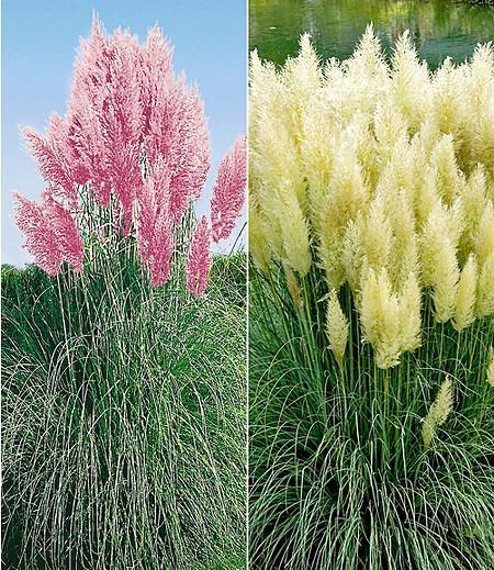 Pampasgras-Kollektion,2 Pflanzen