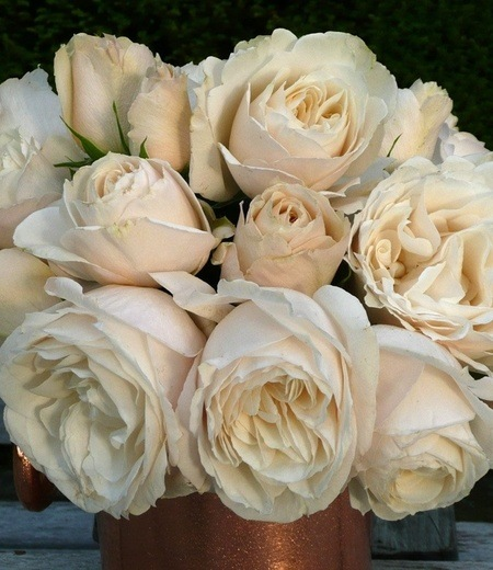 "Parfum-Rose ""Princesse Astrid®"",1 Pflanze"