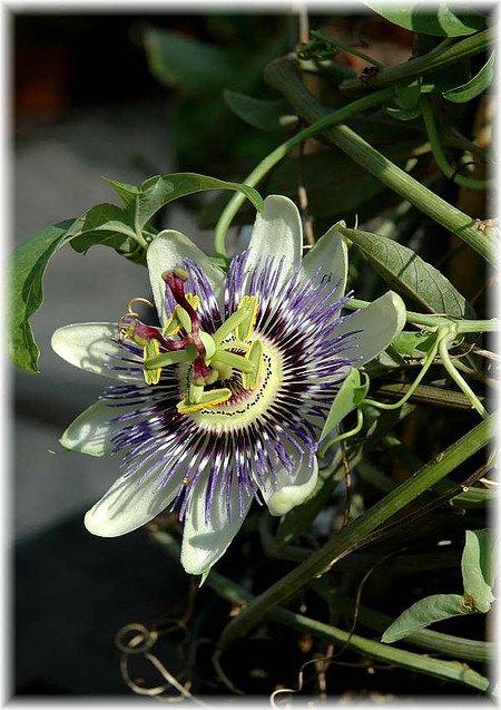 Passionsblume Passiflora caerulea