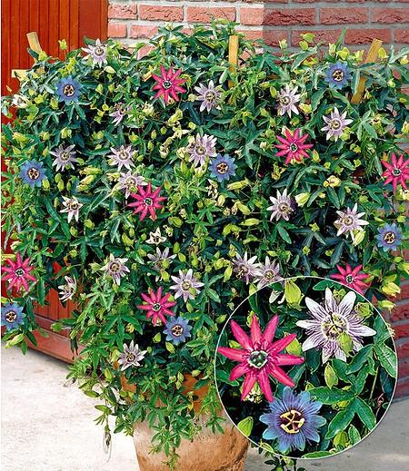 "Passionsblumen-Trio ""Exotic Flowers"",1 Pflanze"