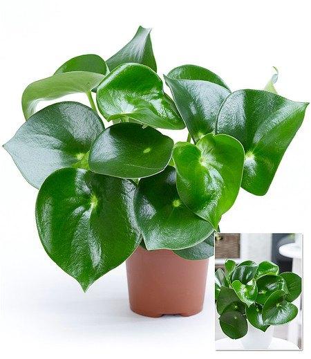 "Peperomia ""Raindrop"" - Zierpfeffer,1 Pflanze"