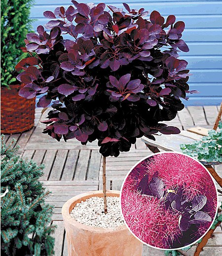 Perückenstrauch-Stämmchen,1 Pflanze