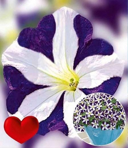"""Petunie """"Amore® Purple Heart"""",3 Pflanzen"""