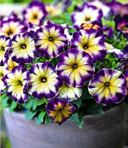 "Petunie Crazytunia® ""Moonstruck"",3 Pflanzen"