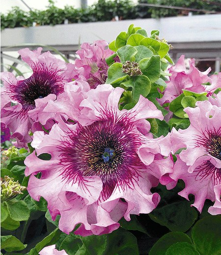 """Pfauenfeder-Petunie """"Superbissima®"""" """"Pink"""",4 Pflanzen rosa"""