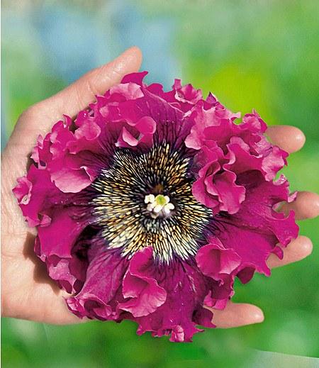 """Pfauenfeder-Petunie """"Superbissima®"""" """"Purple"""",4 Pflanzen"""