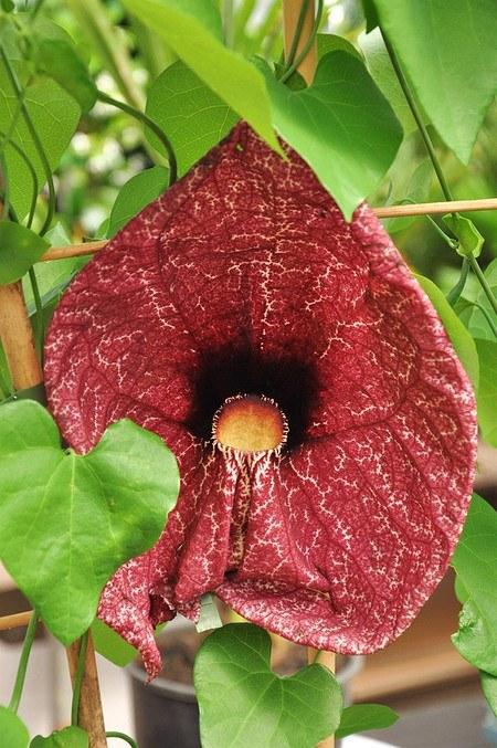 Pfeifenblume (Amerikanische Pfeifenwinde) - Aristolochia macrophylla