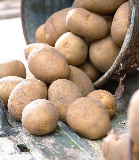 """Pflanzkartoffel """"Nicola"""", 10 Stück zertifizierte Saatkartoffel"""