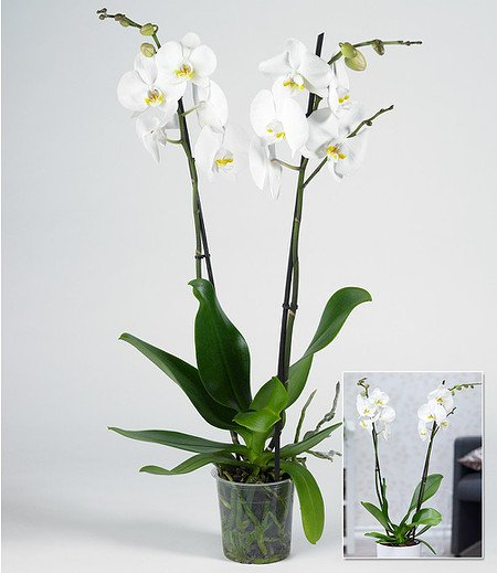 phalaenopsis orchidee 2 triebe wei 1 pflanze g nstig online kaufen mein sch ner garten shop. Black Bedroom Furniture Sets. Home Design Ideas