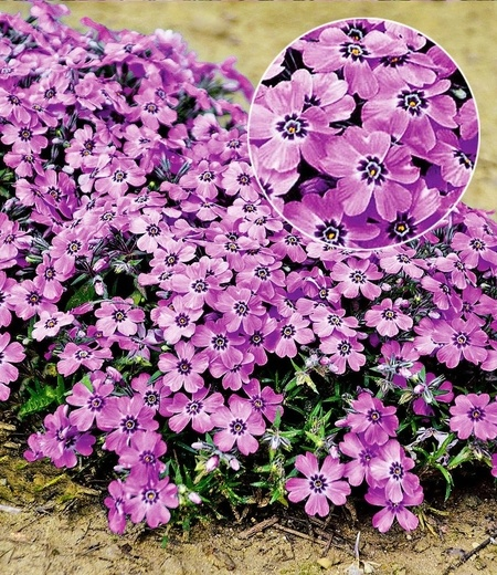 "Phlox ""Eye Shadow"",3 Pflanzen"