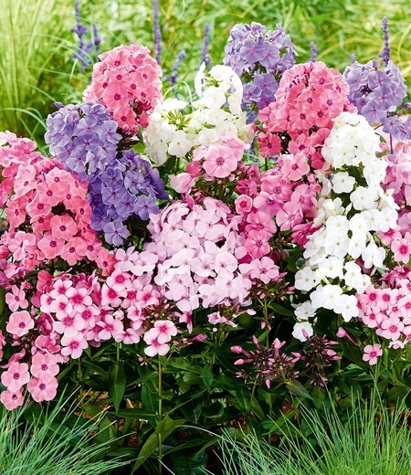 "Phlox-Mix ""Sweet Summer"",3 Knollen"
