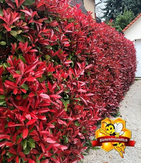 "Photinia-Hecke ""Red Robin"",1 Pflanze"