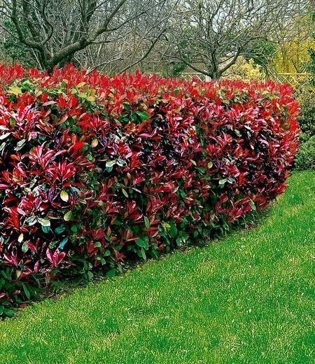 "Photinia-Hecke ""Red Robin"",5 Pflanzen"