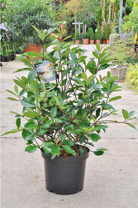 Photinia (Red Robin) - Photinia fraseri Red Robin