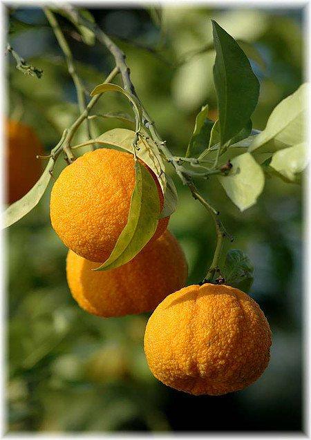 Pomeranze / Bitterorange Citrus aurantium