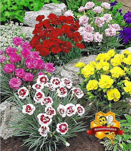"""Prachtmischung """"Duft-Gartennelken"""",5 Pflanzen"""