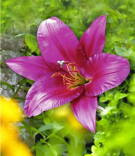 Purple Prince® Tree-Lily®,3 Knollen