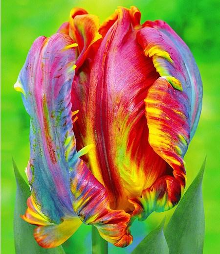 "Regenbogen-Tulpe ""Blumex®"",10 St."