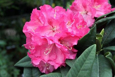 Rhododendron Hybride 'Ariane' INKARHO