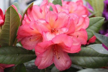 Rhododendron Hybride 'Balalaika' INKARHO