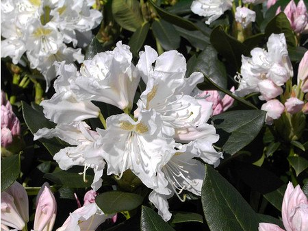 Rhododendron Hybride 'Cunningham`s White'