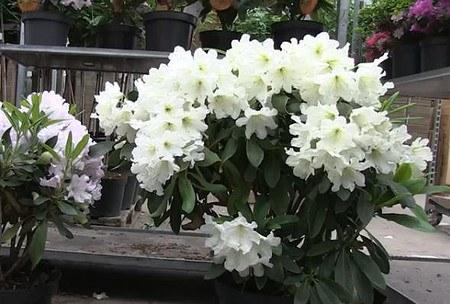rhododendron hybride 39 dufthecke 39 weiss inkarho g nstig online kaufen mein sch ner garten shop. Black Bedroom Furniture Sets. Home Design Ideas