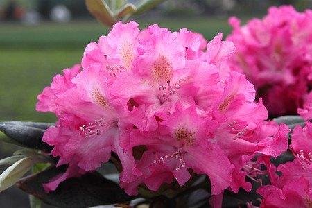 Rhododendron Hybride 'Fidelius' INKARHO