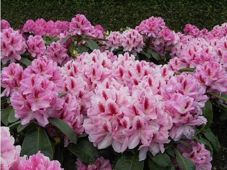Rhododendron Hybride 'Furnivall`s Daughter'