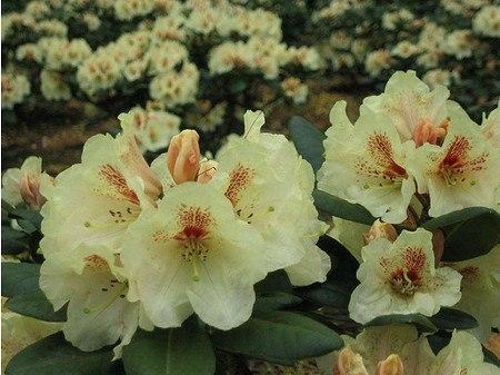 Rhododendron Hybride 'Goldbukett'