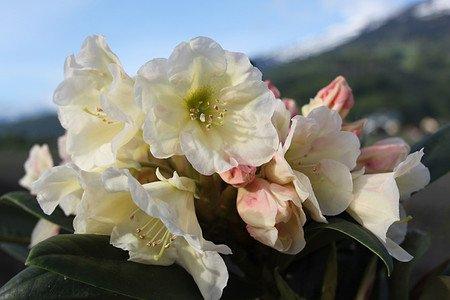Rhododendron Hybride 'Golden Melodie' INKARHO