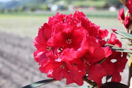 Rhododendron Hybride 'Rabatz'®INKARHO