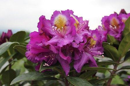 Rhododendron Hybride 'Tamarindos'
