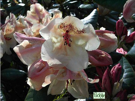 Rhododendron Hybride 'Viscy'