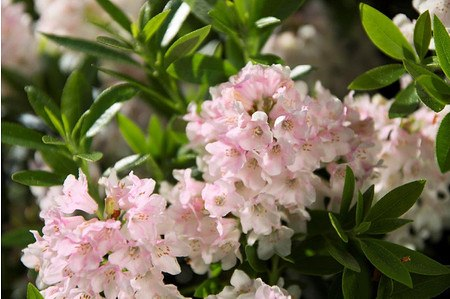 Rhododendron micranthum 'Bloombux'® INKARHO