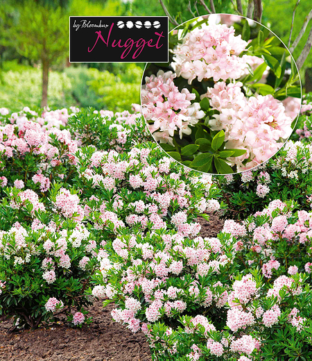 "Rhododendron ""Nugget by Bloombux®"",1 Pflanze"
