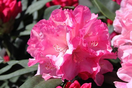 Rhododendron yakushimanum 'Pink Cherub'