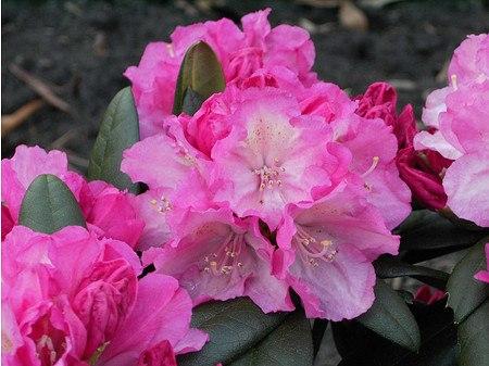 Rhododendron yakushimanum 'Polaris'
