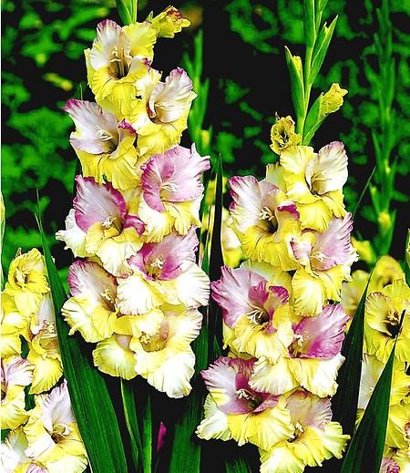 """Riesen-Gladiole """"Mon Amour"""",12Stück Gladiolus"""