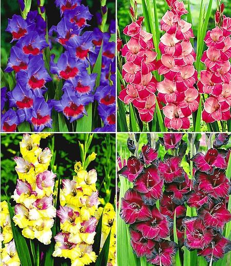 Riesen-Gladiolen-Kollektion,40Zwiebeln Gladiolus Mischung