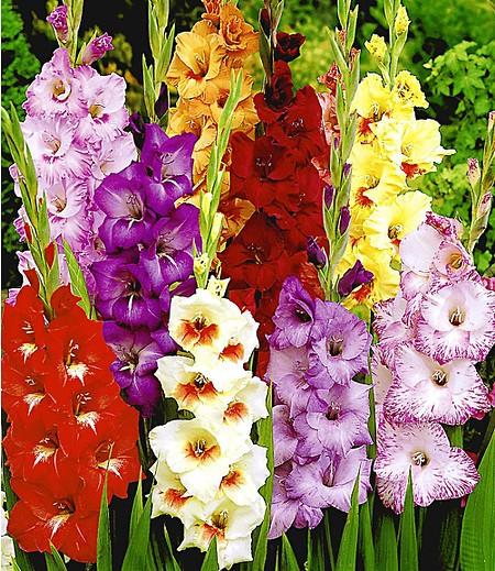 Riesen-Gladiolen-Mix,30 Zwiebeln Gladiolus Mischung