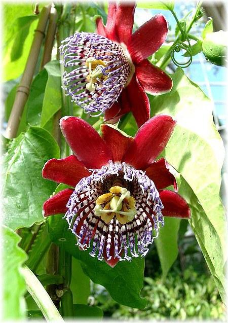 Riesen-Granadilla Passiflora alata