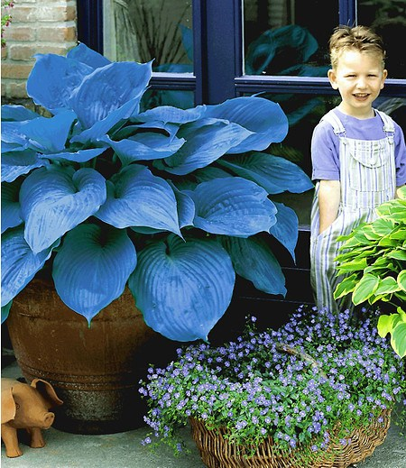 "Riesen-Hosta blau ""Halcyon"",2 Knollen"