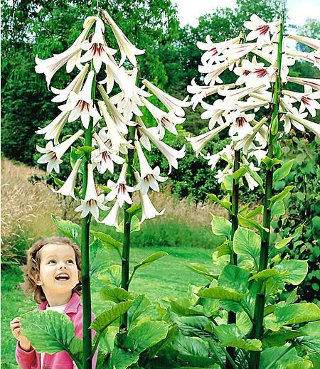 Riesen-Lilie Himalaya,1 KnolleCardiocrinum giganteum