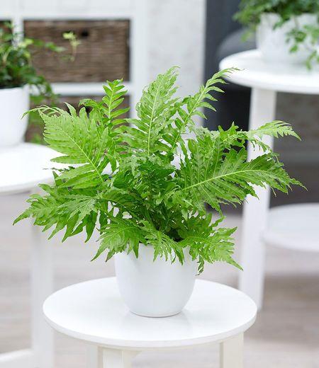 Rippenfarn,1 Pflanze