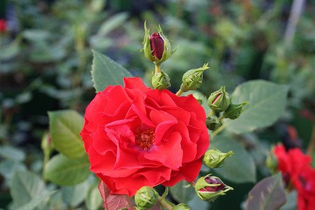 Rose Allotria (im grossen Container)