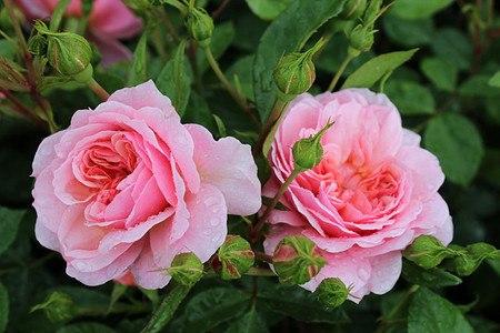 Rose Anne Boleyn® (im grossen Container)