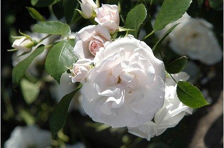 Rose Aspirin Rose® (im grossen Container)