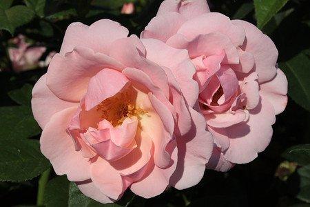 Rose Astrid Lindgren® Pouluf (im grossen Container)